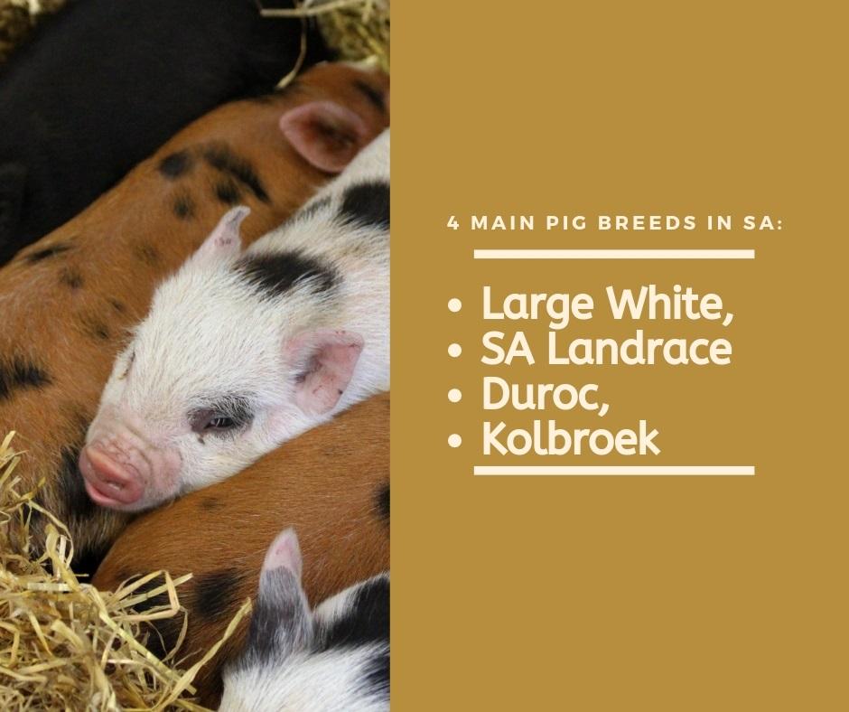 Pig Farming Breeds