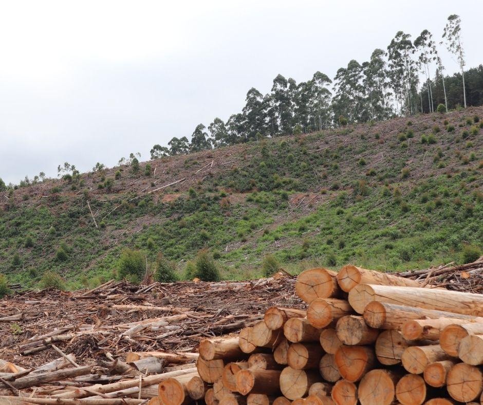 Eucalyptus Poles- The Process of CCA Pressure-Treatment